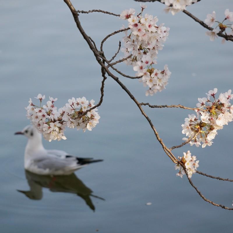 Sakura -The song of the Cherry Blossom-