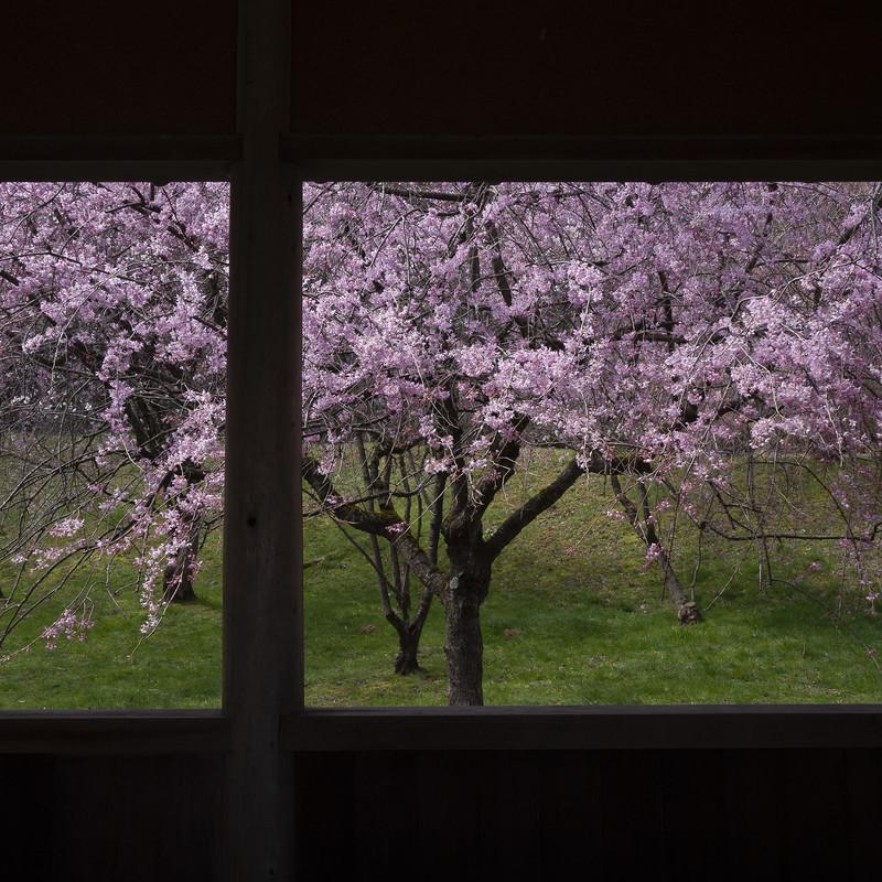 桜の降る街