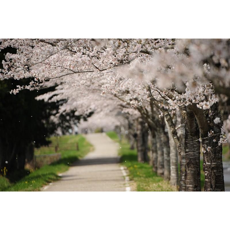 桜坂(ピアノカバー)