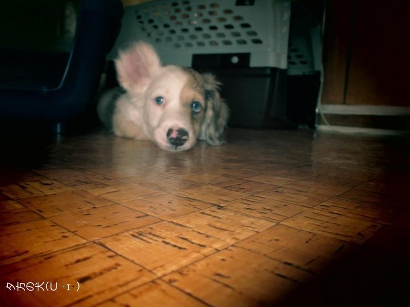 夕方の犬(U ・ェ・)
