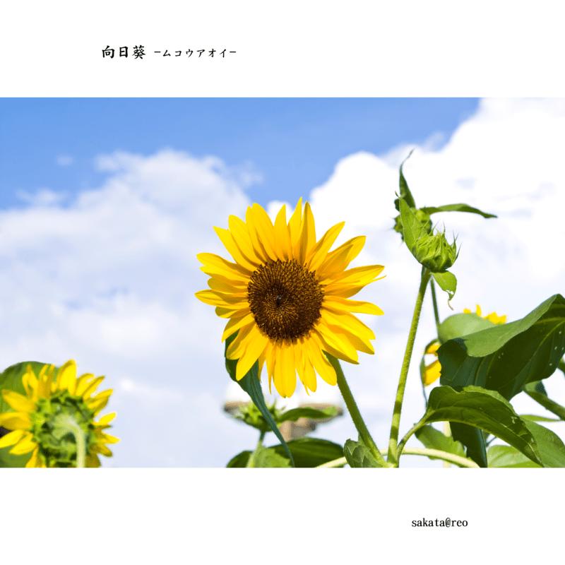 向日葵 -ムコウアオイ-